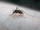 Genetiğiyle oynanmış sivrisinekler virüsle savaşacak