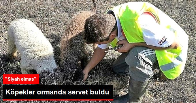 Trüf Mantarı'nı Köpekler Buldu, Kilosu 3 Bin 500 Euro