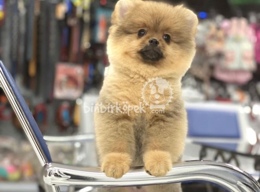 Pomeranian Boo Irkının Özellikleri