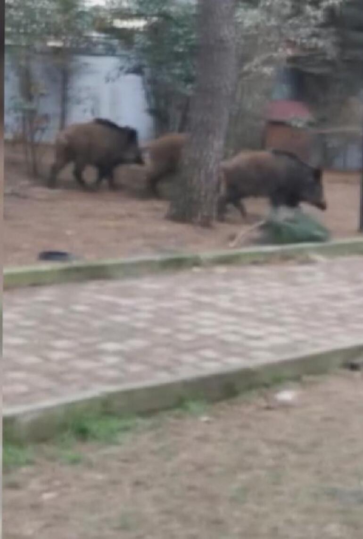 İstanbulun göbeğine domuz sürüsü indi Piknik yapanlar büyük şok yaşadı